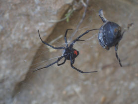 Picture of Latrodectus mactans (Southern Black Widow) - Female - Ventral,Webs,Prey