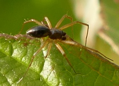 Picture of Linyphiidae (Money Spiders) - Male - Lateral