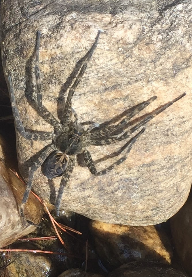 Picture of Dolomedes scriptus (Striped Fishing Spider) - Dorsal