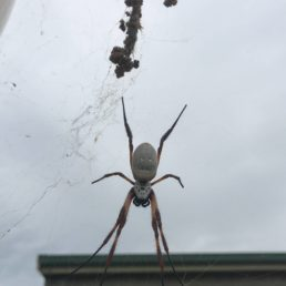 Featured spider picture of Nephila edulis (Australian Golden Orb-weaver)