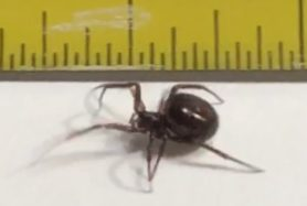 Picture of Steatoda borealis - Lateral
