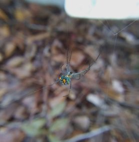 Picture of Leucauge argyrobapta (Mabel Orchard Orb-weaver) - Female