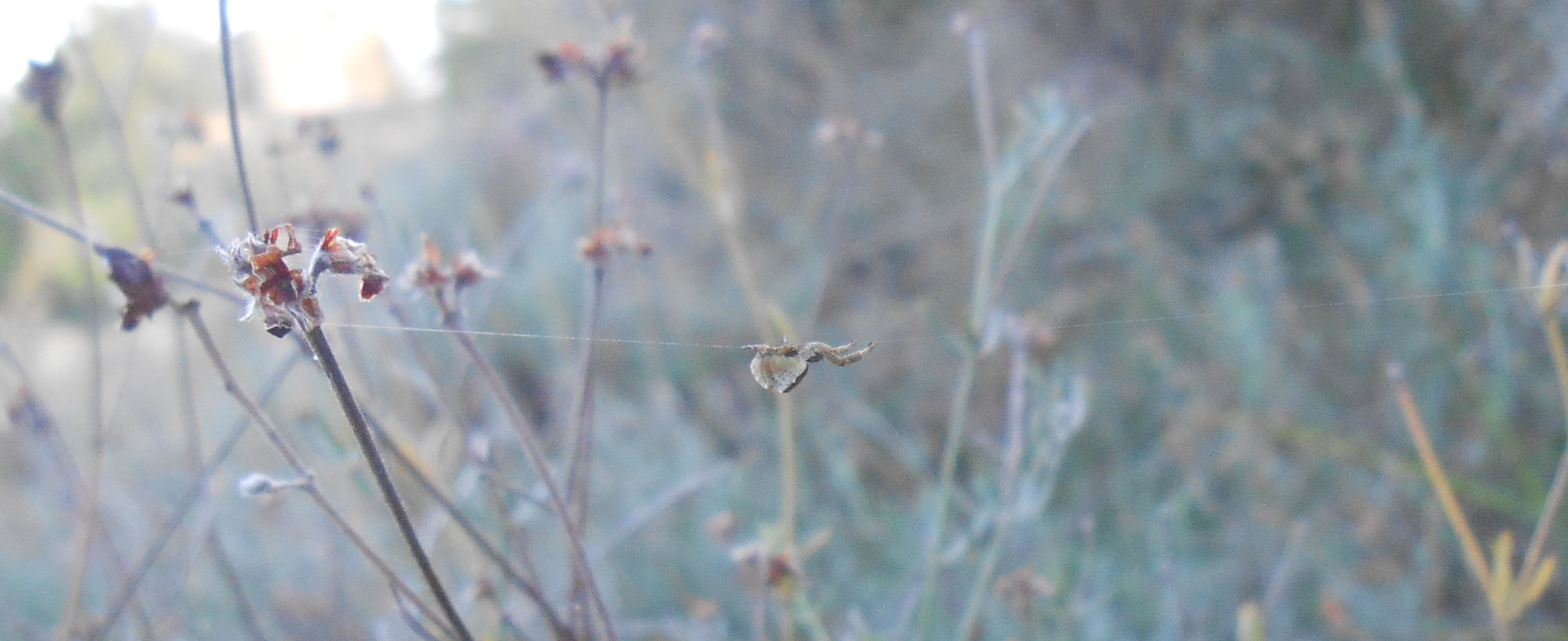 Picture of Hyptiotes (Triangle Web Spiders) - Lateral,Webs