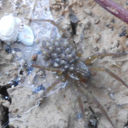 Featured spider picture of Dolomedes fimbriatus (Raft Spider)
