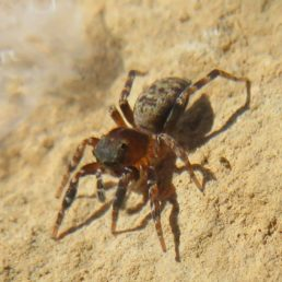 Featured spider picture of Cyrba algerina