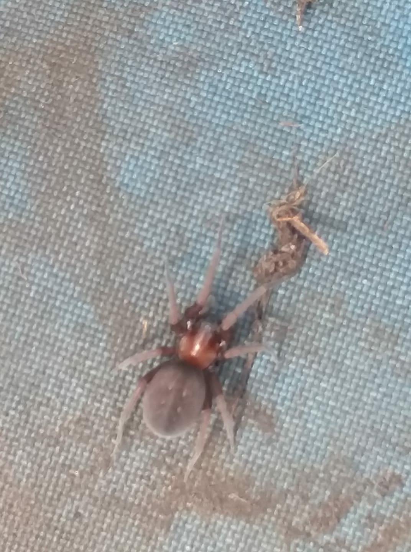 Picture of Metaltella simoni (Hacklemesh Weaver) - Dorsal