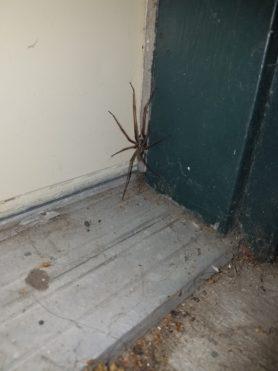 Picture of Eratigena duellica (Giant House Spider) - Male - Dorsal