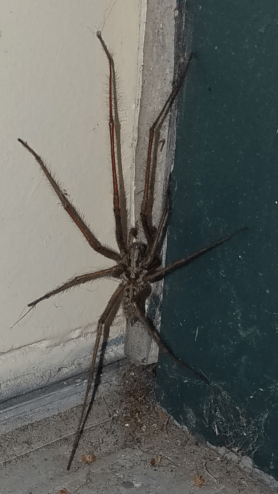 Picture of Eratigena duellica (Giant House Spider) - Male - Dorsal