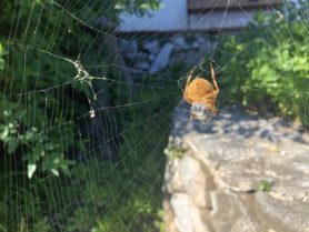 Picture of Araneus pallidus (Pale Cross Orb-weaver) - Female - Ventral,Webs,Prey