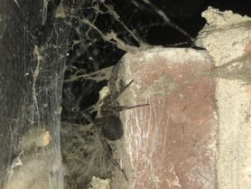 Picture of Dolomedes tenebrosus (Dark Fishing Spider) - Webs,In Retreat