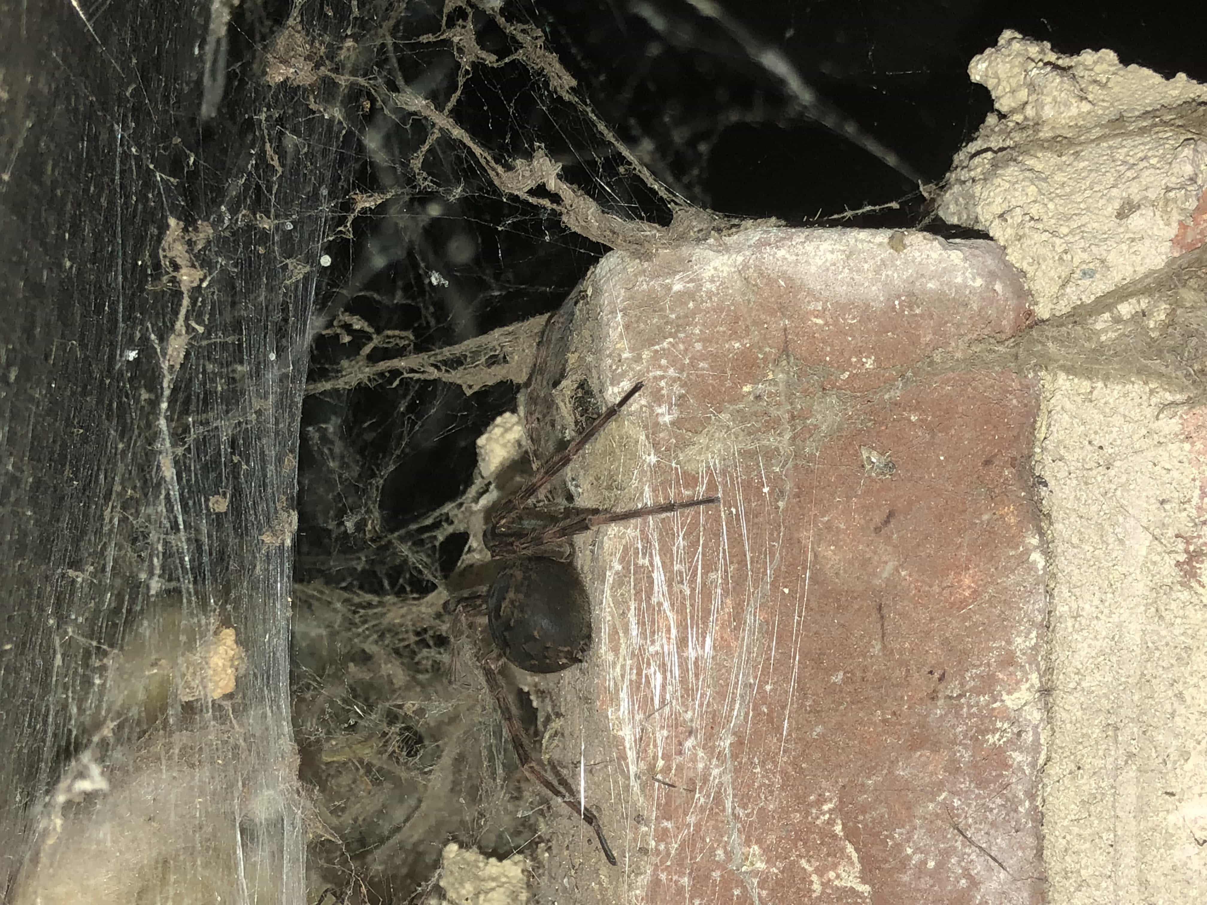 Picture of Dolomedes tenebrosus (Dark Fishing Spider) - Webs,In Retreat