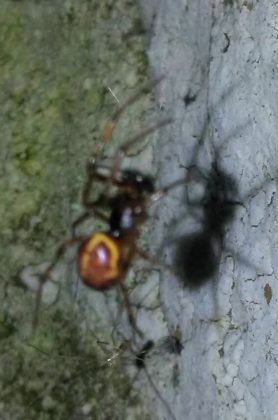 Picture of Steatoda borealis - Male - Lateral