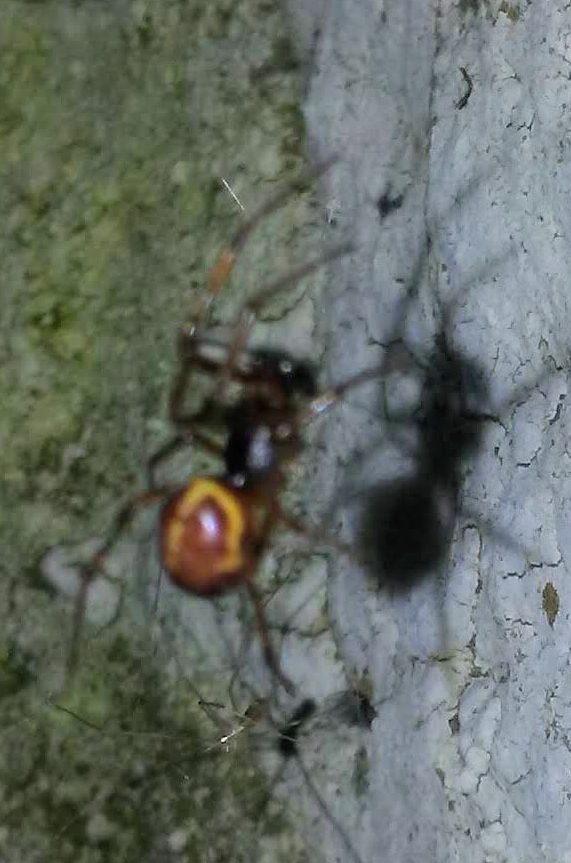 Picture of Steatoda borealis - Male - Lateral