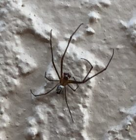 Picture of Leucauge argyra - Male - Dorsal