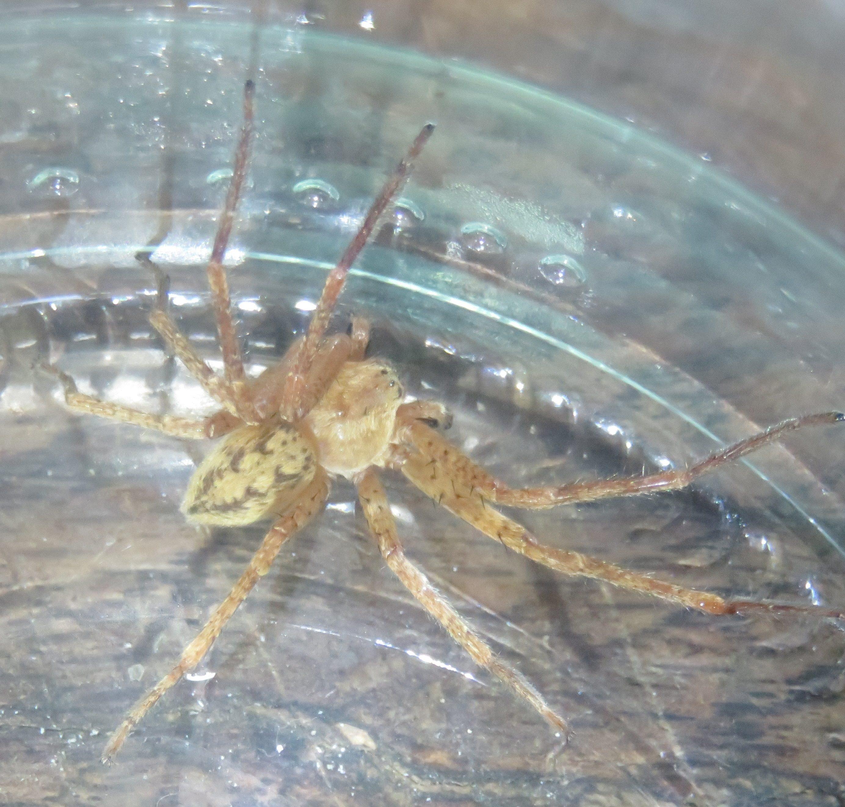 Picture of Olios argelasius - Male - Dorsal