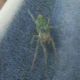 Featured spider picture of Nigma walckenaeri (Green-Leaf-Web Spider)