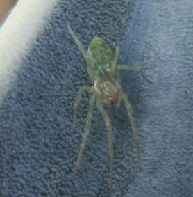 Picture of Nigma walckenaeri (Green-Leaf-Web Spider) - Dorsal