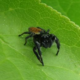 Featured spider picture of Carrhotus xanthogramma