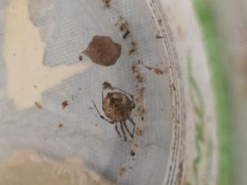 Picture of Parasteatoda tepidariorum (Common House Spider) - Female - Egg sacs,Ventral