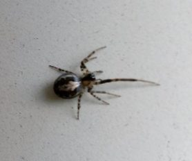 Picture of Zygiella x-notata (Missing Sector Orb-weaver) - Dorsal
