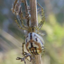 Featured spider picture of Mangora acalypha