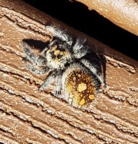 Picture of Phidippus regius (Regal Jumping Spider) - Dorsal