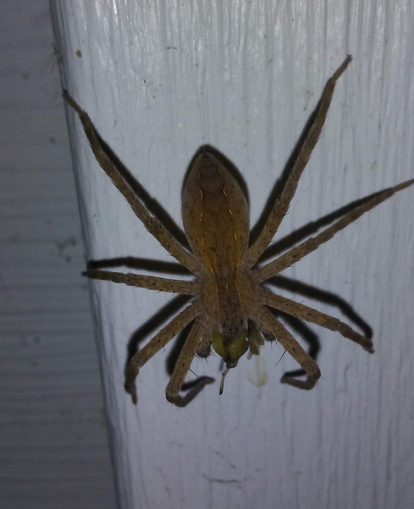 Picture of Pisaurina mira (Nursery Web Spider) - Dorsal,Prey