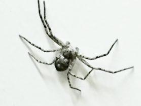 Picture of Philodromus spp. - Male - Dorsal