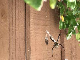 Picture of Argiope argentata (Silver Garden Spider) - Dorsal,Webs