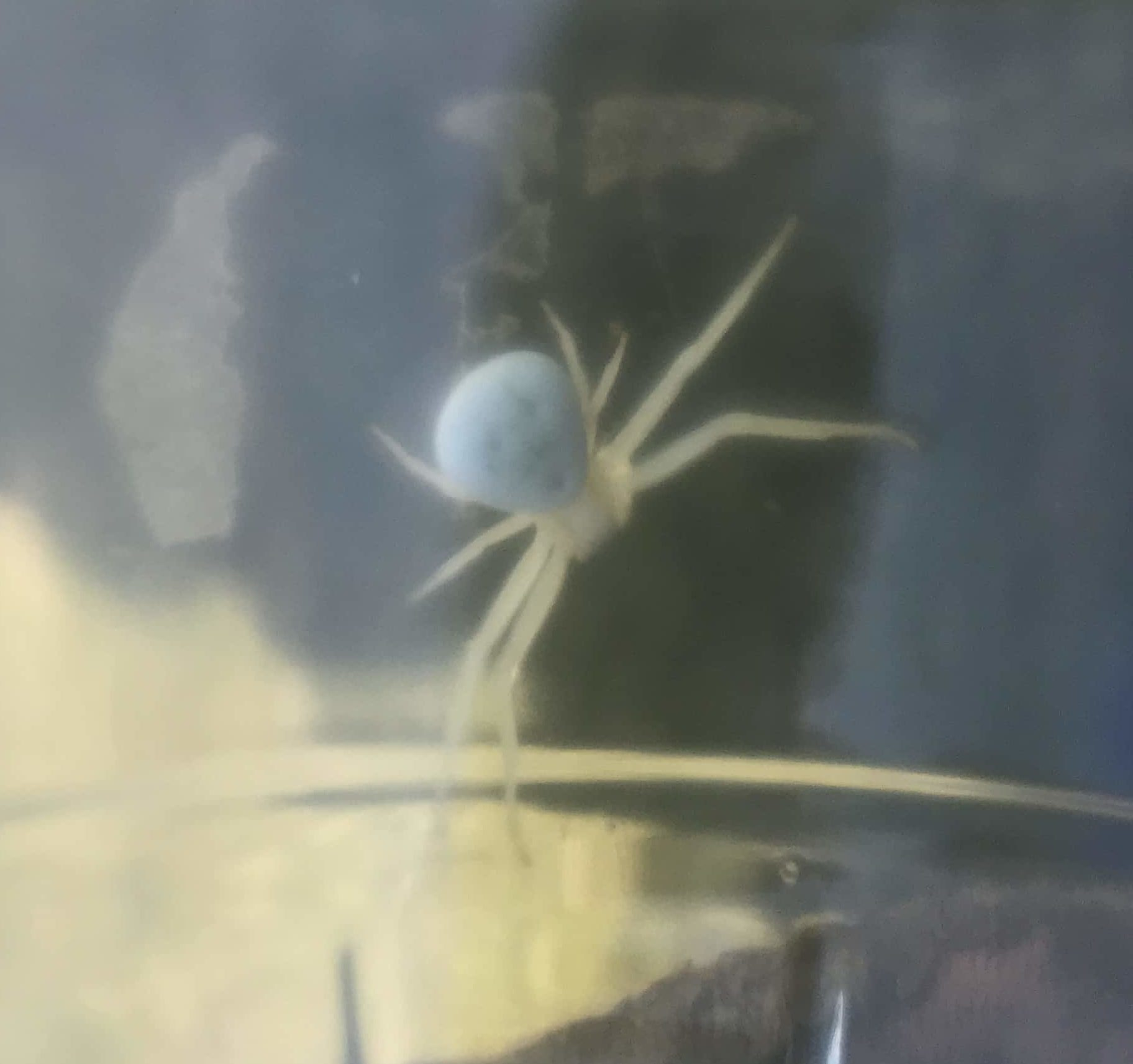 Picture of Thomisidae (Crab Spiders) - Dorsal