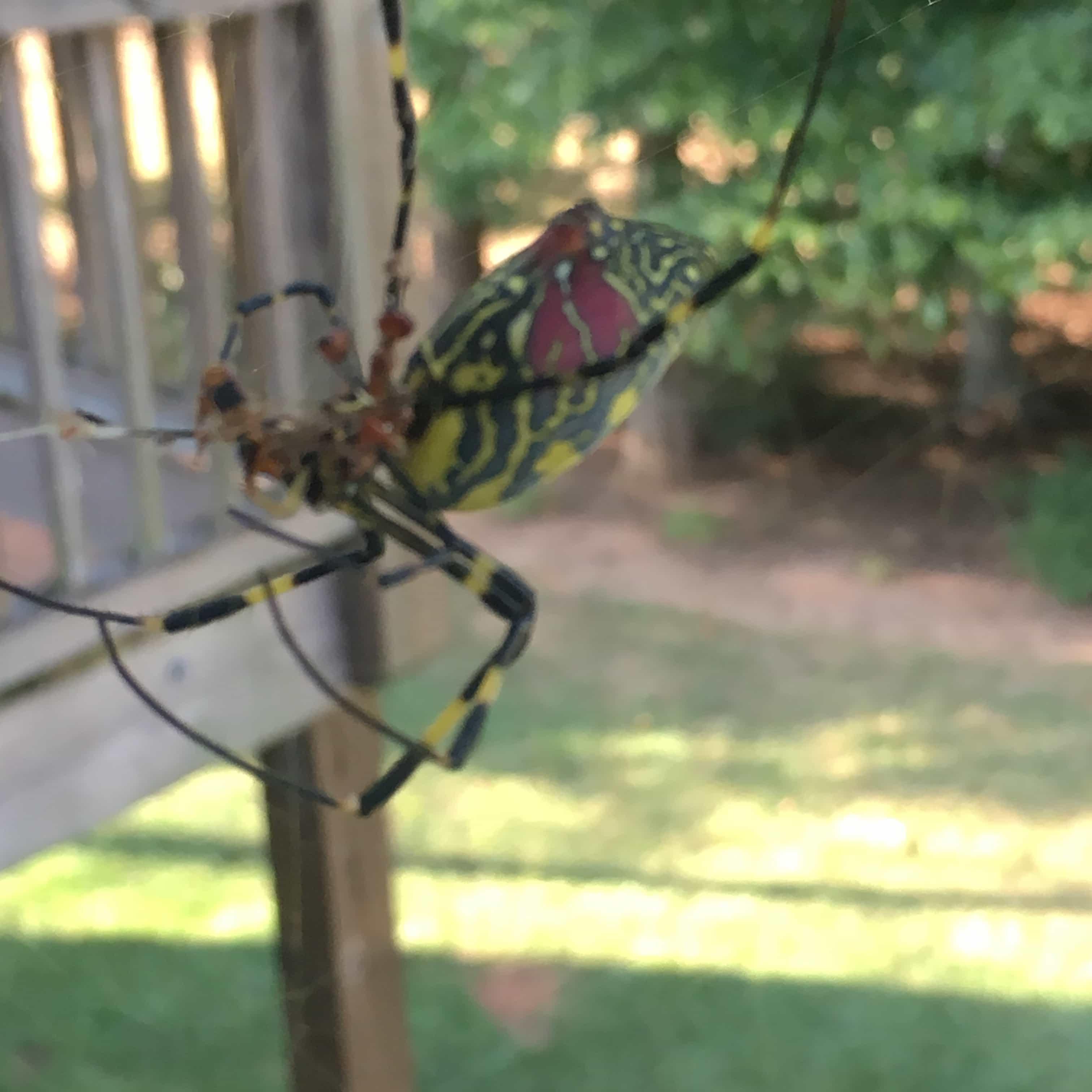 Picture of Trichonephila clavata (Joro spider) - Female - Lateral,Prey