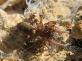 Picture of Drassodes spp. - Dorsal