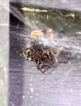 Picture of Linyphiidae (Money Spiders) - Male,Female - Lateral,Webs