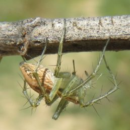 Featured spider picture of Oxyopes lineatus