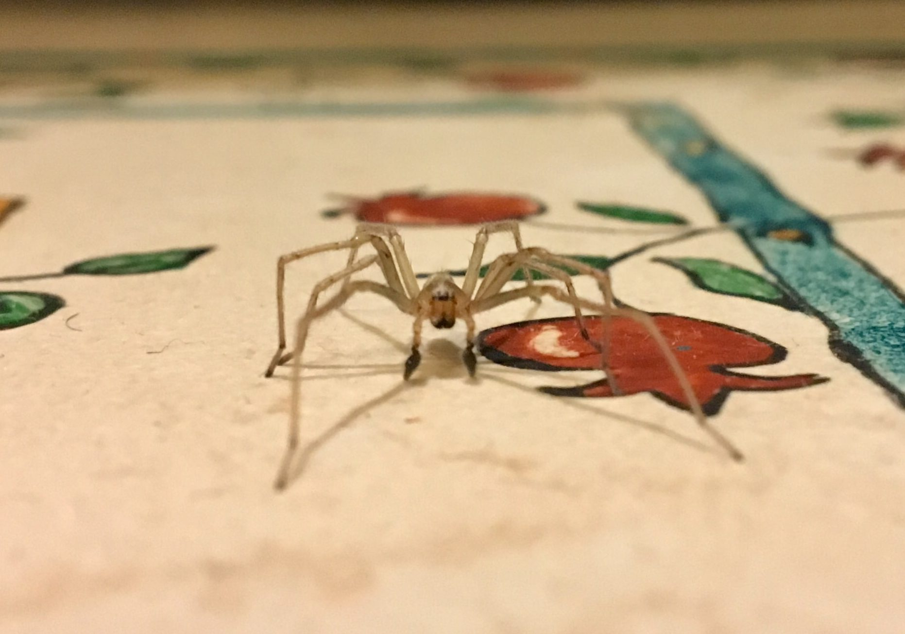 Picture of Cheiracanthium (Long-legged Sac Spiders) - Male - Eyes