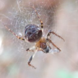 Featured spider picture of Zilla diodia