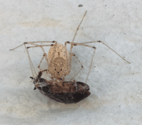 Picture of Scytodes longipes - Dorsal