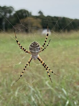 Picture of Argiope trifasciata (Banded Garden Spider) - Dorsal,Webs