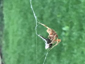 Picture of Neoscona crucifera (Hentz Orb-weaver) - Lateral,Prey