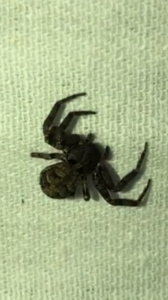 Picture of Bassaniana (Bark Crab Spiders) - Dorsal
