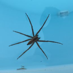 Featured spider picture of Pisaurina brevipes