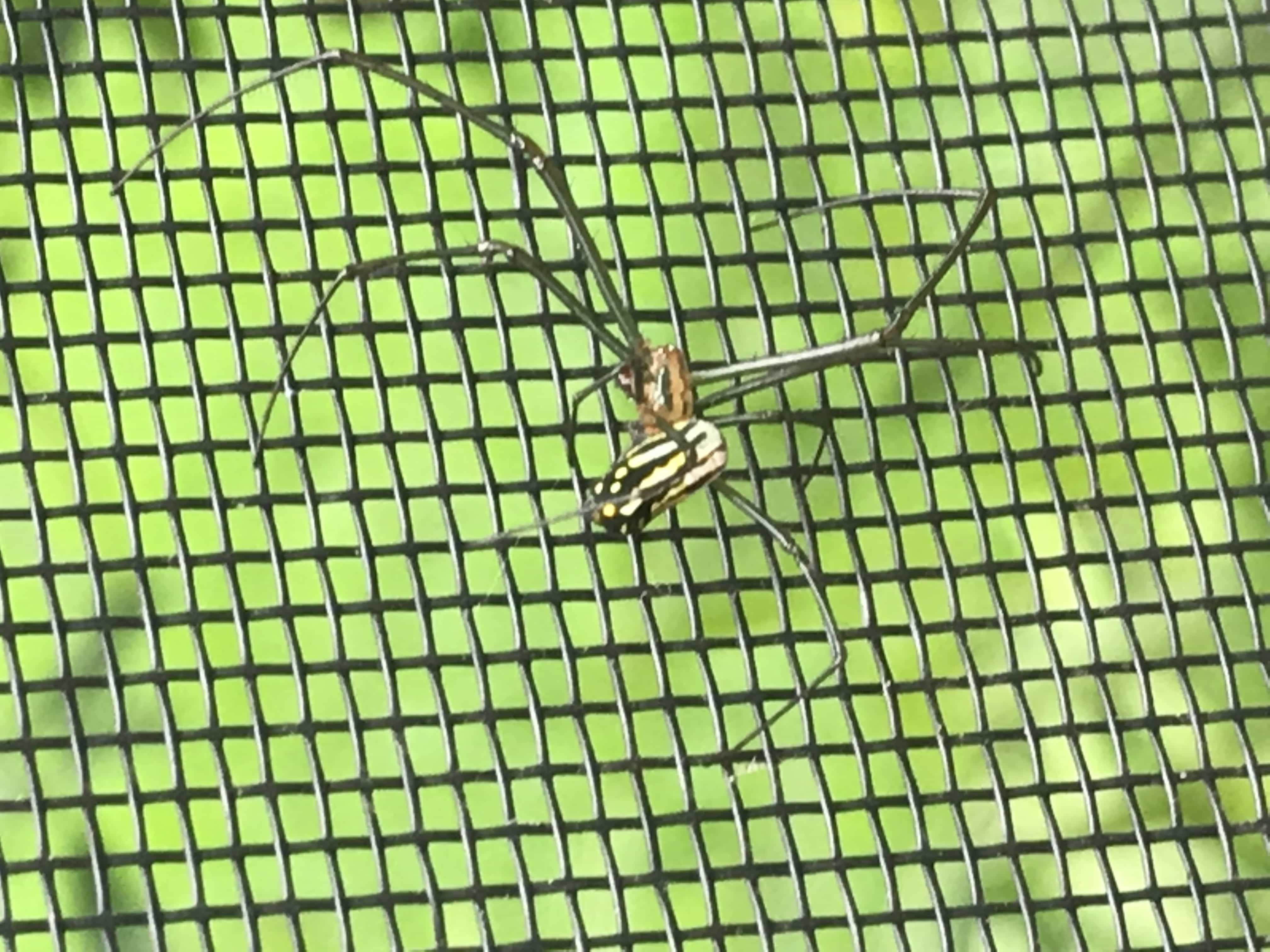 Picture of Leucauge argyra - Lateral