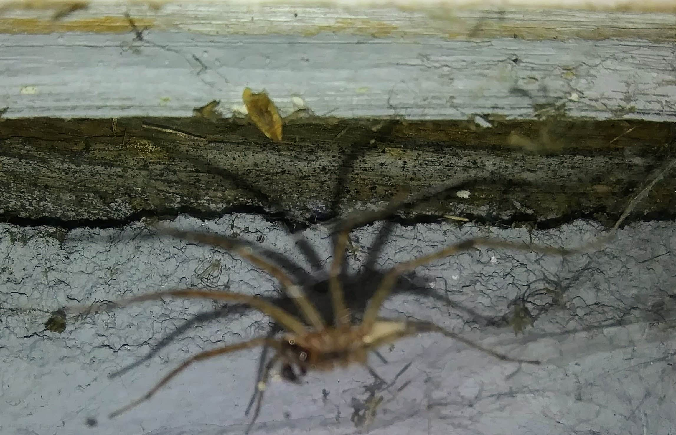 Picture of Agelenopsis (Grass Spiders) - Male - Lateral