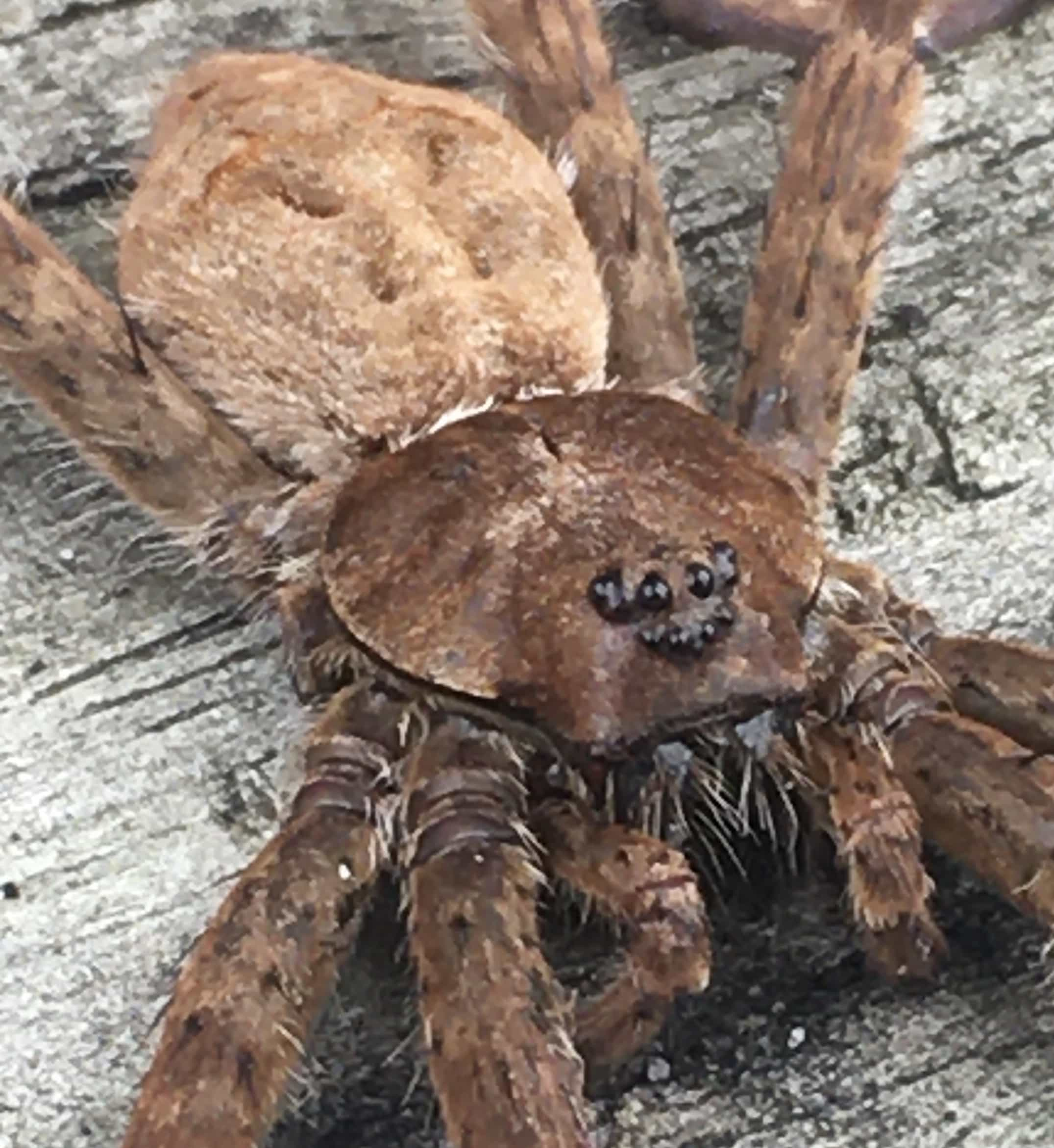 Picture of Dolomedes albineus (White-banded Fishing Spider) - Dorsal,Eyes