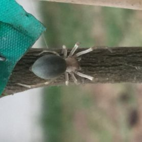 Picture of Eutichuridae (Prowling Spiders) - Dorsal