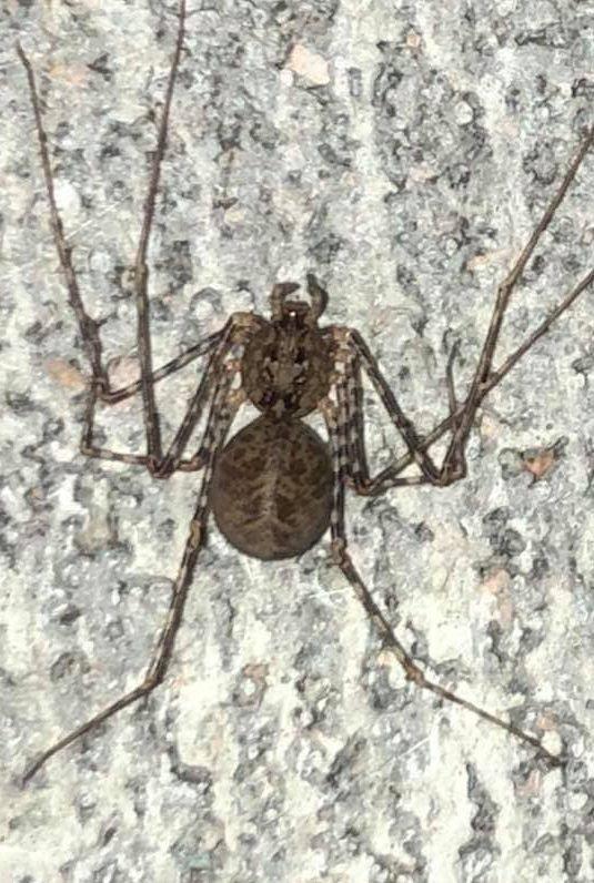 Picture of Scytodes - Dorsal