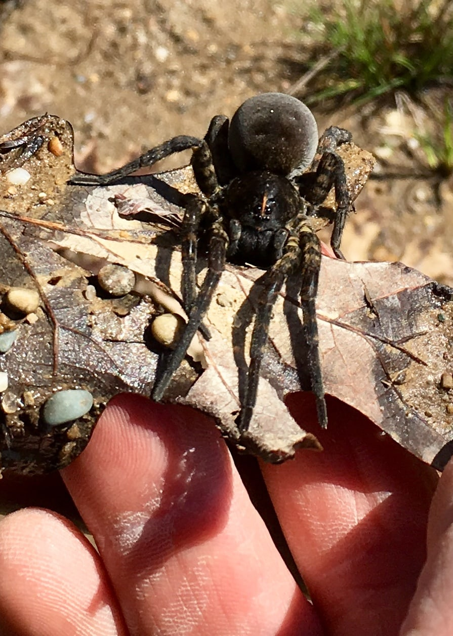 Picture of Tigrosa aspersa (Tiger Wolf Spider) - Female - Dorsal,Eyes