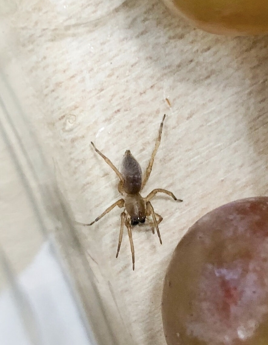 Picture of Clubiona (Leaf-curling Sac Spiders) - Accidental adventive