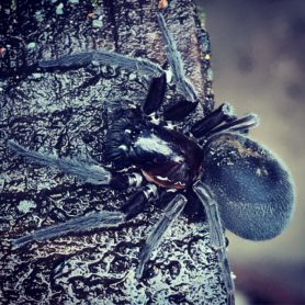 Picture of Amaurobius ferox (Black Lace-Weaver) - Dorsal