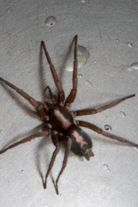 Picture of Herpyllus propinquus (Western Parson Spider) - Dorsal